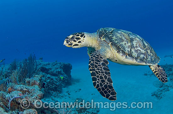 Hawksbill Sea Turtle (Eretmochelys imbricata). Palm Beach, Florida, USA. Found in tropical and warm temperate seas worldwide. Rare. Classified Critically Endangered species on the IUCN Red List.
