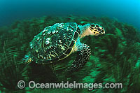 Hawksbill Sea Turtle with barnacles photo