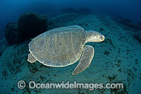 Kemp's Ridley Sea Turtle Lepidochelys kempii photo