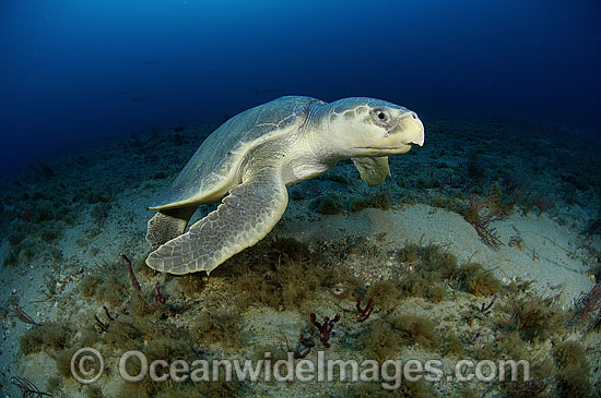 Kemp's Ridley Sea Turtle, (Lepidochelys kempii). Palm Beach, Florida, USA. Also known as Atlantic Ridley and Gulf Ridley. The most severely endangered marine turtle in the world. Listed on the IUCN Red list as Critically Endangered species.