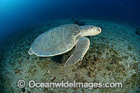 Kemp's Ridley Turtle Photo - Michael Patrick O'Neill