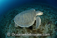 Kemp's Ridley Sea Turtle Photo - Michael Patrick O'Neill