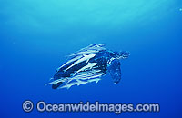 Leatherback Sea Turtle Dermochelys coriacea Photo - Michael Patrick O'Neill