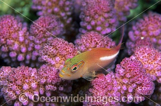 Ring-eyed Hawkfish (Paracirrhites arcatus) amongst Acropora Coral. Great Barrier Reef, Queensland, Australia