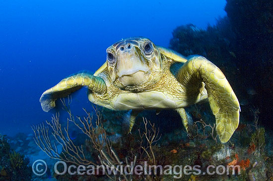 Loggerhead Sea Turtle (Caretta caretta). Palm Beach, Florida, USA. Found in tropical and warm temperate seas worldwide. Endangered species listed on IUCN Red list. Photo - Michael Patrick O'Neill