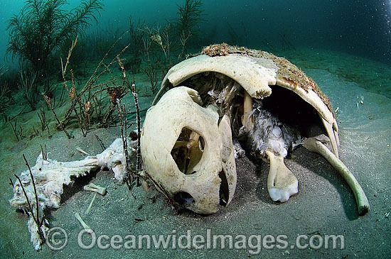 Loggerhead Sea Turtle (Caretta caretta) - carcass resting on sea floor. Palm Beach, Florida, USA. Found in tropical and warm temperate seas worldwide. Endangered species listed on IUCN Red list. Photo - Michael Patrick O'Neill