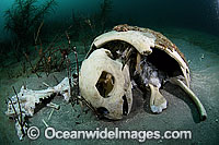 Loggerhead Turtle carcass on sea floor Photo - Michael Patrick O'Neill