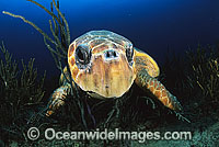 Loggerhead Sea Turtle Caretta caretta Photo - Michael Patrick O'Neill