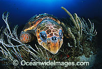 Loggerhead Sea Turtle sleeping Photo - Michael Patrick O'Neill