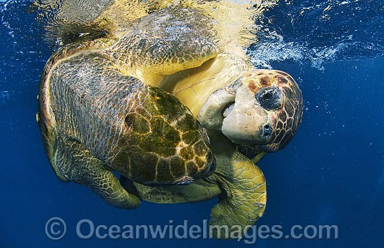Loggerhead Sea Turtles (Caretta caretta) - mating pair. Palm Beach, Florida, USA. Found in tropical and warm temperate seas worldwide. Endangered species listed on IUCN Red list. Photo - Michael Patrick O'Neill