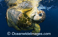 Loggerhead Sea Turtles mating pair Photo - Michael Patrick O'Neill