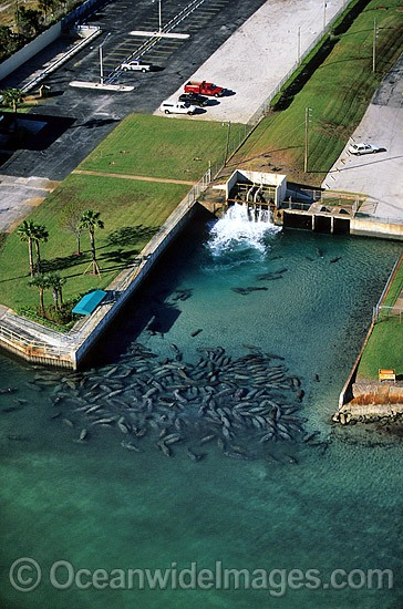 Florida Manatees (Trichechus manatus latirostris) gathered around the warm-water outflow of a power plant in Riviera Beach, Florida during a cold front. Also known as Sea Cows. Florida, USA. Classified Endangered Species on the IUCN Red list. Photo - Michael Patrick O'Neill