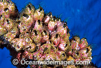 Barnacles Austrobalanus imperator Photo - Gary Bell