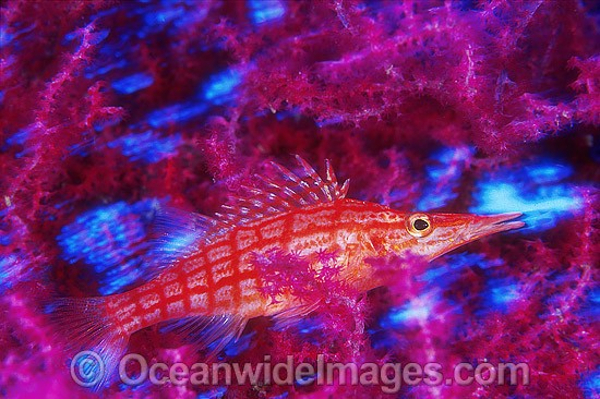 Long-nose Hawkfish (Oxycirrhites typus) on Gorgonian Fan Coral. Indo-Pacific Photo - Gary Bell
