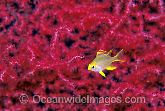 Juvenile Golden Damsel (Amblyglyphidodon aureus) amongst Gorgonian Fan Coral. Also known as Lemon Damsel, Yellow Damsel and Golden Sergeant. Great Barrier Reef, Queensland, Australia Photo - Gary Bell