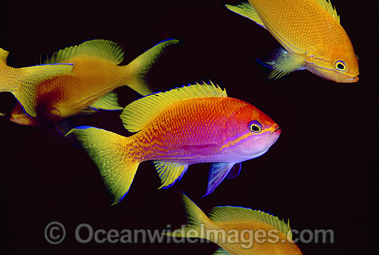 Two-spot Basslet (Pseudanthias bimaculatus) - female. Also known as Twin-spot Basslet. Indo-Pacific Photo - Gary Bell