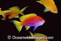 Two-spot Basslet Pseudanthias bimaculatus photo