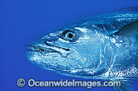 Dogtooth Tuna Gymnosarda unicolor Photo - Gary Bell