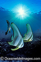 Batfish Platax teira in sunrays image