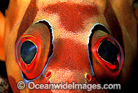Black-tipped Grouper eye photo