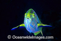 Sunset Wrasse Thalassoma lutescens Photo - Gary Bell