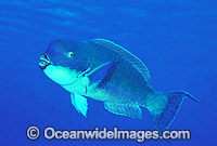Blunt-headed Parrotfish photo