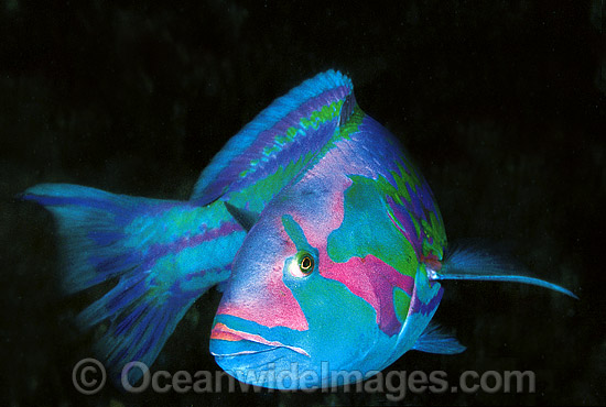 Surge Wrasse (Thalassoma purpureum). Great Barrier Reef, Queensland, Australia Photo - Gary Bell