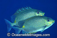 Spotted Rabbitfish Siganus guttatus Photo - Gary Bell