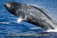 Humpback Whale breaching on surface photo