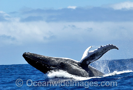 Humpback Whale (Megaptera novaeangliae) - breaching on surface. Tonga, South Pacific Ocean. Classified as Vulnerable on the IUCN Red List.