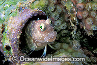 Twin-spot Blenny Salarias segmentatus Photo - Gary Bell