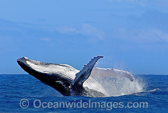 Humpback Whale (Megaptera novaeangliae) - breaching on surface. Tonga, South Pacific Ocean. Classified Vulnerable on the IUCN Red List. Sequence: 10b Photo - Gary Bell