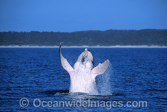 Humpback Whale (Megaptera novaeangliae) - breaching on surface. Hervey Bay, Queensland, Australia. Classified as Vulnerable on the IUCN Red List.