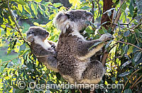 Koala mother with cub Photo - Gary Bell