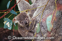 Koala mother with cub photo