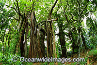Banyan Fig Tree Lord Howe Island Photo - Gary Bell