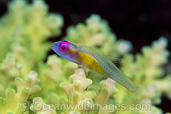 Purple-eyed Goby (Bryaninops natans) on Acropora Coral. Great Barrier Reef, Queensland, Australia