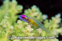 Purple-eyed Goby on Coral Photo - Gary Bell