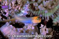 Banda Combtooth-Blenny on Corallimorph photo