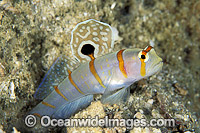 Sail-fin Shrimp Goby Gold-Barred Shrimp Photo - Gary Bell