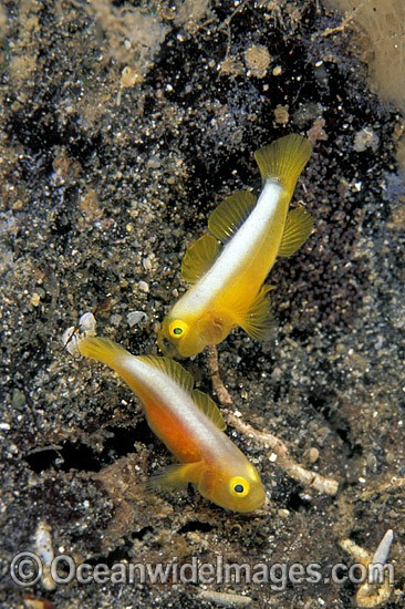 Dinah's Goby (Lubricogobius dinah) - Size: 10mm. Milne Bay, Papua New Guinea