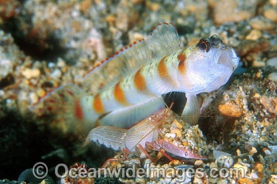 Eye-brow Shrimp Goby (Amblyeleotris sp.) and Shimp (Alpheus ochrostriatus). Kimbe Bay, Papua New Guinea