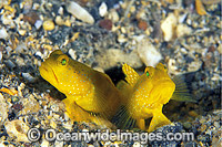 Yellow Shrimp Goby Cryptocentrus cinctus Photo - Gary Bell