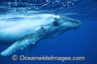 Humpback Whale calf underwater photo