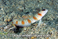 Eye-brow Shrimp Goby Photo - Gary Bell
