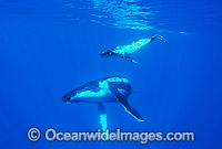 Humpback Whale mother with calf Photo - Gary Bell