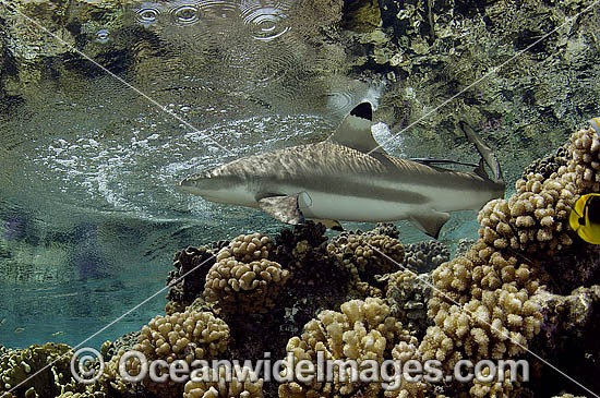 Blacktip Reef Shark (Carcharhinus melanopterus). Also known as Blacktip Shark. French Polynesia, South Pacific