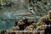 Blacktip Reef Shark Carcharhinus melanopterus Photo - Michael Patrick O'Neill