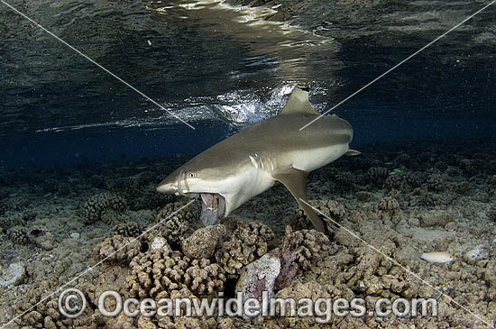 Blacktip Reef Shark (Carcharhinus melanopterus) - feeding on a discarded fish frame. Also known as Blacktip Shark. French Polynesia, South Pacific