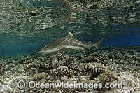 Blacktip Reef Shark Photo - Michael Patrick O'Neill